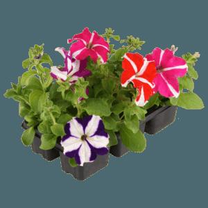 Рассада цветов петунии