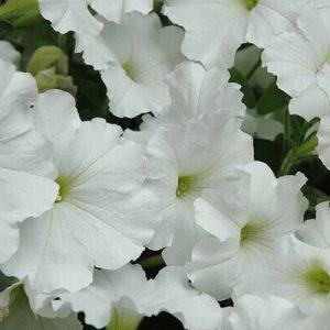 Supercascade white.